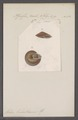 Helix kobeltiana - - Print - Iconographia Zoologica - Special Collections University of Amsterdam - UBAINV0274 089 01 0089.tif