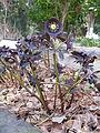 Helleborus orientalis 'Ruse Black'1.jpg
