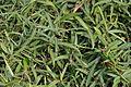 Hemidesmus indicus - Agri-Horticultural Society of India - Alipore - Kolkata 2013-01-05 2301.JPG