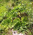 Heracleum mantegazzianum5.jpg