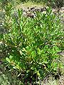 Heteromeles arbutifolia 1.jpg