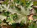 Heuchera cylindrica 15557.JPG