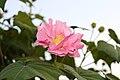 Hibiscus mutabilis 0409.JPG