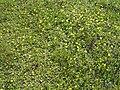 Hieracium pilosella 1 beentree.jpg