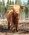 Highland cattle in Ysitien Lemmikki.jpg