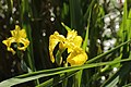 Hilden 25.05.2017 Yellow Flag - Iris pseudacorus (34677432413).jpg