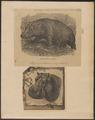 Hippopotamus amphibius - 1700-1880 - Print - Iconographia Zoologica - Special Collections University of Amsterdam - UBA01 IZ21900013.tif
