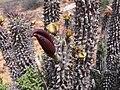 Hoodia gordonii Frucht P1010402.JPG