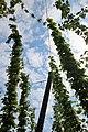 Hopfengarten Brauerei Schnaitl 06.jpg