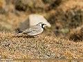 Horned Lark (Eremophila alpestris) (30744830357).jpg