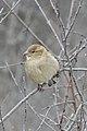House Sparrow (Passer domesticus) - Cambridge, Ontario 2019-02-09 (02).jpg