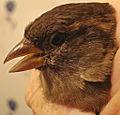 House Sparrow (hen).jpg