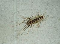 House Centipede photo