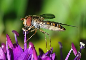 Description de l'image  Image:Hoverfly April 2008-1.jpg.