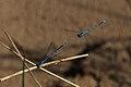 Hufeisen-Azurjungfer Coenagrion puella 9050.jpg