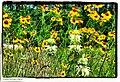 Huffmeister Wildflowers - Flickr - pinemikey.jpg