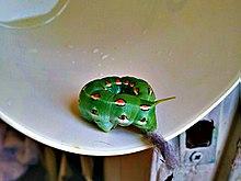Hummingbird-moth-caterpillar-hyles-lineata-larva.jpg