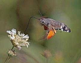 Hummingbird hawk moth (Macroglossum stellatarum) in flight.jpg