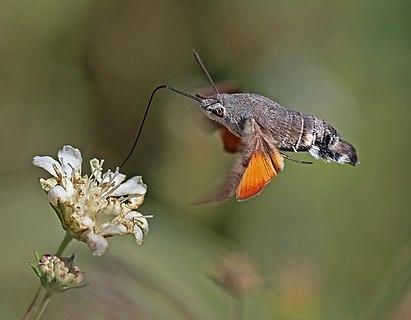 Hummingbird hawk moth (Macroglossum stellatarum) in flight