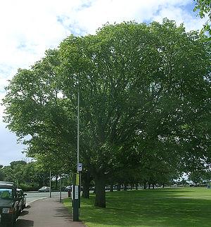 Southsea - Row of wind-pruned Huntingdon Elms, Southsea Common