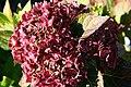 Hydrangea macrophylla Blushing Bride 0zz.jpg