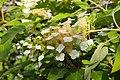 Hydrangea quercifolia Hortensja dębolistna 2018-06-10 02.jpg