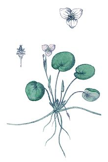 Common Frogbit(Hydrocharis morsus-ranae)