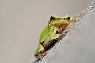 Common Chinese tree frog species of amphibian