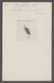 Hymenophora - Print - Iconographia Zoologica - Special Collections University of Amsterdam - UBAINV0274 040 04 0037.tif