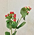 Hypericum berries - red - March 3 2021.jpeg