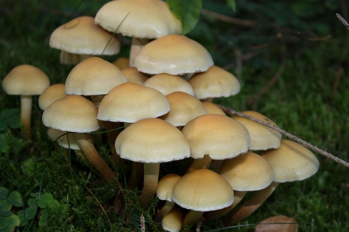 Hypholoma Capnoides Wikipedia