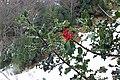 Ilex aquifolium. Carrascu.jpg