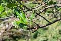 Ilex aquifolium in La Jaysinia (3).jpg