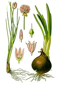 Illustration Allium schoenoprasum and Allium cepa0 clean.jpg