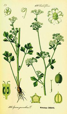 Echter Sellerie (Apium graveolens) Darstellung der Morphologie der Ursprungsartund Teilansichten von Blüten und Früchten