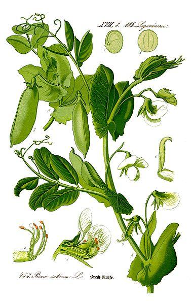 Plantes cultivées comestibles pour lézards et tortues 377px-Illustration_Pisum_sativum0_clean