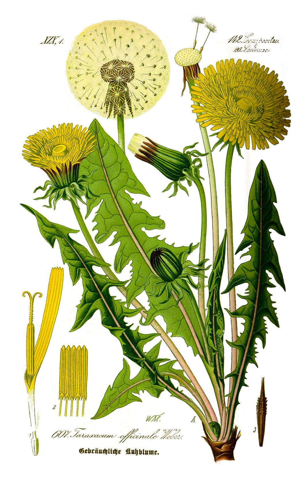Illustration Taraxacum officinale0 clean