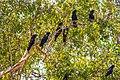 In Kakadu Natl Park E of Darwin N.T - Red Tailed Black Cockatoos (Calyptorhynchus banksii) at Jim Jim Creek (13113300073).jpg