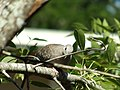 Inca dove sitting in tree branch 20181.jpg