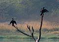 Indian Cormorant (Phalacrocorax fuscicollis) in Hyderabad W IMG 4264.jpg
