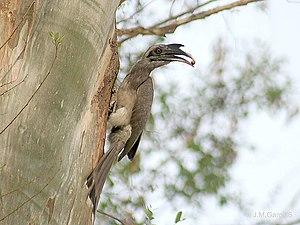 Ocyceros - Image: Indian Grey Hornbill I IMG 4048