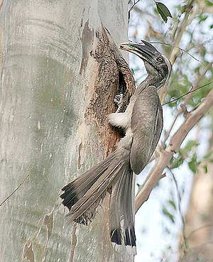 Indian grey hornbill - Male feeding a female at nest (Wagah Border, India)