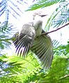 Indian Grey Hornbill Ocyceros birostris juvenile taking sunbath at Nagpur (5).JPG