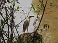 Indian Pond Heron in Bulbule lake.jpg