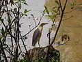 Indian Pond Heron in Bulbule lake.jpg