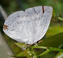 Indian Sunbeam (Curetis thetis)- Male in Narshapur, AP W IMG 0801.jpg