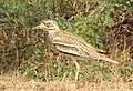 Indian Thick-knee Burhinus indicus by Dr. Raju Kasambe DSCN9380 (15).jpg