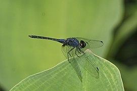 Indothemis carnatica 9735.jpg
