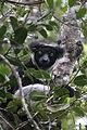 Indri in Andasibe 10.JPG