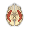 Inferior temporal gyrus - inferior view.png